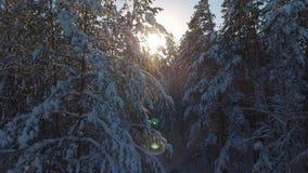 Sapins et pins dans la neige, lumière du soleil entre les arbres banque de vidéos