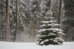 Sapins féeriques dans la forêt sous la neige blizzard photo stock