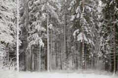 Sapins féeriques dans la forêt sous la neige blizzard image libre de droits