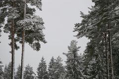 Sapins féeriques dans la forêt sous la neige blizzard photographie stock libre de droits