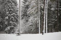 Sapins féeriques dans la forêt sous la neige blizzard images libres de droits