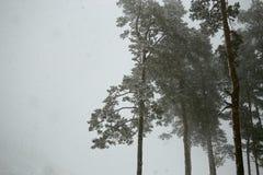 Sapins féeriques dans la forêt sous la neige blizzard photos stock
