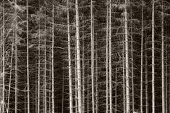 Sapins noirs et blancs Photographie stock libre de droits