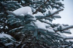 Sapins Snow-covered photo stock
