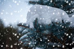 Sapins Snow-covered photos libres de droits