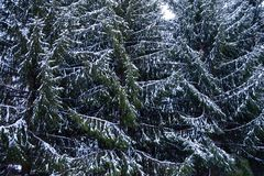 Sapins Snow-covered image stock