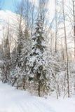 Sapins sous la neige Image libre de droits