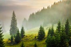 Sapins sur le pré entre les flancs de coteau en brouillard avant lever de soleil Images libres de droits