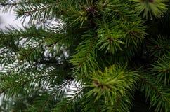 Sapins verts d'aiguilles dans la cour photo stock