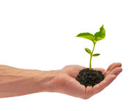 Sapling. Young plant which is in a man's hand Royalty Free Stock Photo