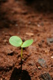 Sapling Royalty Free Stock Photo