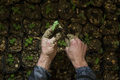 Sapling. New born Green single Sapling in a mud pot Stock Photo