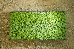 Sapling. New born Green single Sapling in a mud pot Stock Images