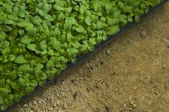 Sapling. New born Green single Sapling in a mud pot Royalty Free Stock Photography