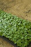 Sapling. New born Green single Sapling in a mud pot Royalty Free Stock Photo