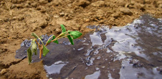 Sapling. A closeup of a wilted sapling in soil, with part of the soil soaked in water stock photos