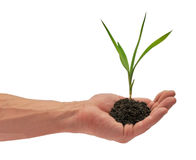 Sapling. Young plant which is in a man's hand Stock Photography