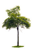 Sapling Acacia tree. An isolated cutout image of a young acacia tree stock photos
