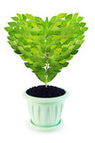 Sapling as a heart grows in a pot Royalty Free Stock Images