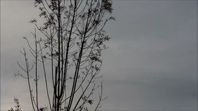 Sparse sapling blowing in the wind before a storm. Sapling blowing in the wind before a storm stock footage