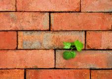 Sapling on brick Royalty Free Stock Photos