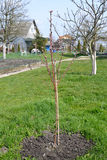 Sapling brzoskwini drzewo z kwiatów cynaderkami (Prunus persica (L ) Zdjęcie Stock