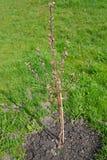 Sapling brzoskwini drzewo z kwiatów cynaderkami (Prunus persica (L ) Fotografia Royalty Free