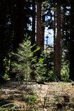 Sapling Cedar Tree in Forest. A sapling cedar tree in lighted clearing of forest with mature trees in background. An environmental concept for re-foresting and royalty free stock image