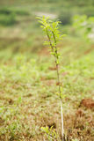 Sapling. A close-up of a young sapling Stock Image