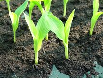 The sapling of the corn tree is growing from the ground. royalty free stock photo