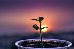 Sapling in a cup growing behind a sunset background stock images