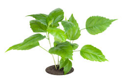 Sapling a favourite indoor plant Stock Images