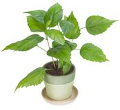 Sapling a favourite indoor plant Stock Photos