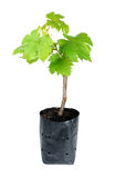 Sapling grape isolated on the white background Royalty Free Stock Photography