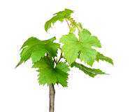 Sapling grape isolated on the white background Stock Photos