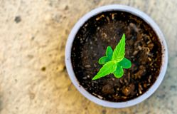 Sapling growing in a cup soil green nature earth care. A small sapling of a plant growing healthy in a cup of soil. plantation importance for green earth and royalty free stock image