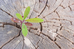 Sapling growing from old tree stump Royalty Free Stock Photo