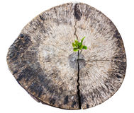 Sapling growing from old tree stump Stock Image
