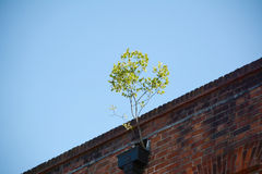 Sapling growing out of a gutter Stock Image