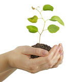 Sapling in hands Stock Images