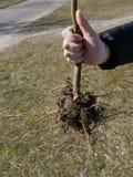 Sapling młody drzewo w jego ręce nasadzeń drzew zdjęcia stock