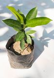 Sapling of Mimusops elengi for plant , Bullet Wood,Mimusops elen Stock Photo