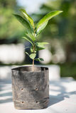Sapling of Mimusops elengi for plant , Bullet Wood,Mimusops elen Royalty Free Stock Images