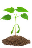 Sapling of Norway maple on white. 2-month sapling of Norway maple (Acer platanoides Stock Image