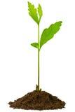 Sapling oak, isolated on a white background. 3-week seedling oak, isolated on white Royalty Free Stock Photos