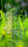 Sapling pine after rain Royalty Free Stock Images