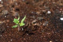 Sapling pomidor r w górę ziemi od fotografia stock