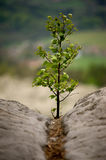 Sapling on the rock Stock Photography