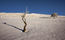 Sapling in the snow Stock Photography