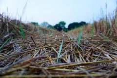 Sapling&Straw Stockbilder